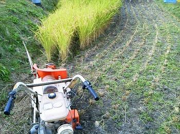 2014稲刈り1.jpg