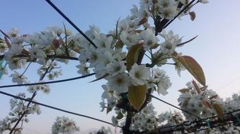 なしの花2015A.jpg