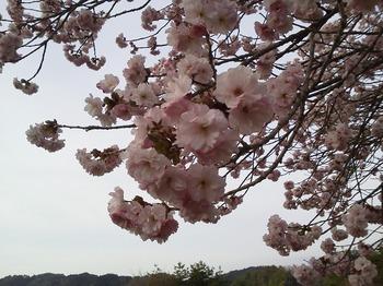 yaesakura1.jpg